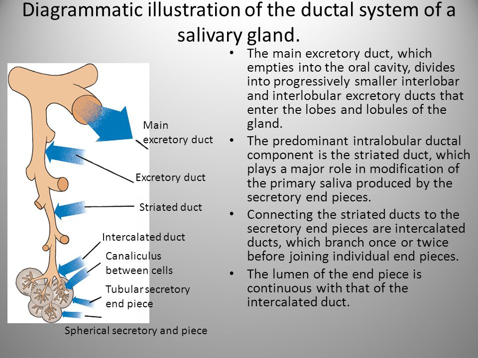 Diagrammatic illustration of the ductal system of a salivary gland.