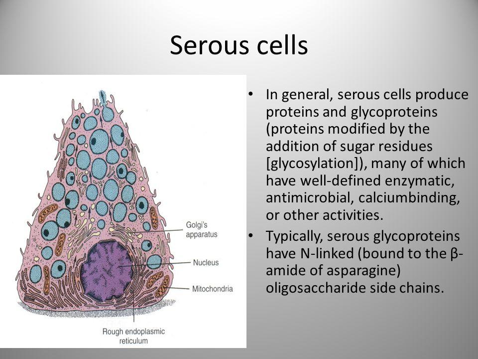 Serous cells