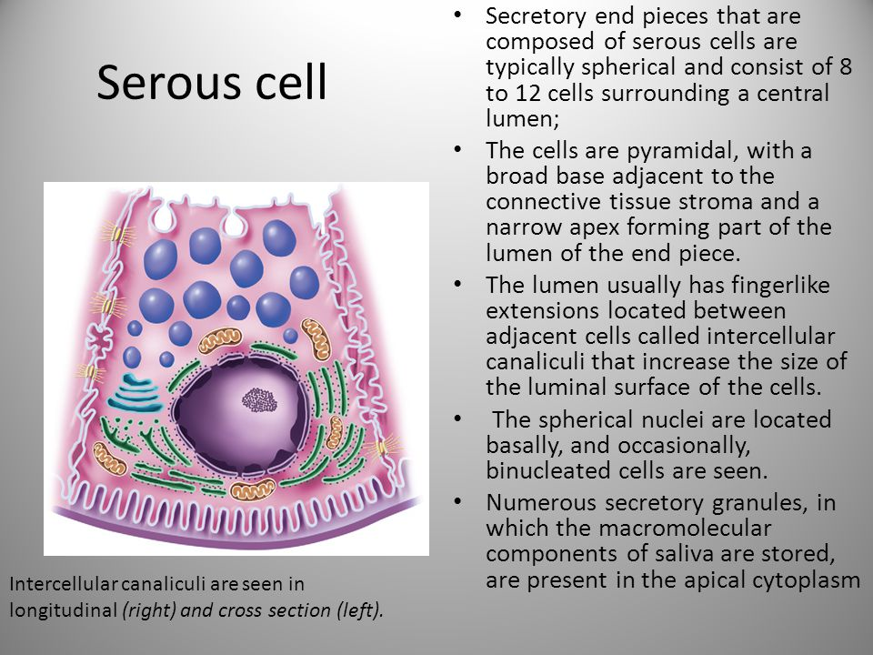 Secretory end pieces that are composed of serous cells are typically spherical and consist of 8 to 12 cells surrounding a central lumen;