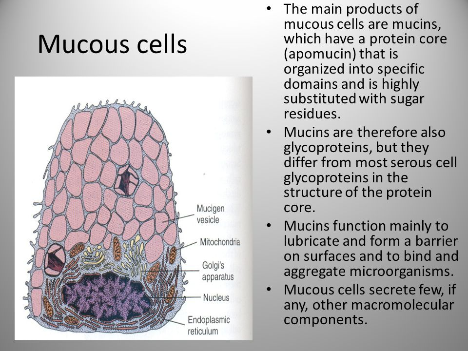 The main products of mucous cells are mucins, which have a protein core (apomucin) that is organized into specific domains and is highly substituted with sugar residues.