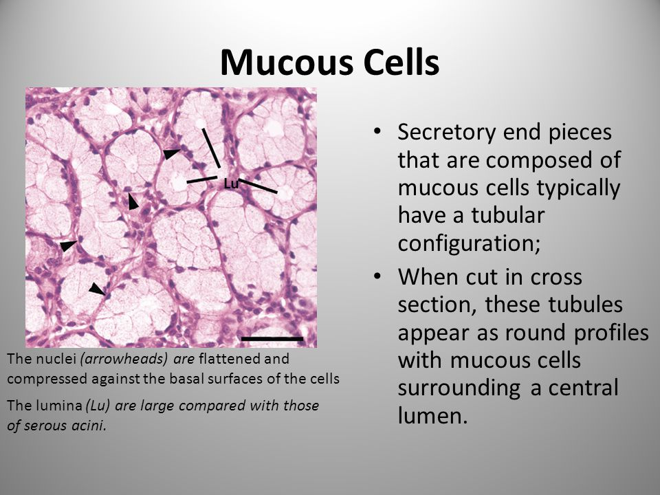 Mucous Cells Secretory end pieces that are composed of mucous cells typically have a tubular configuration;