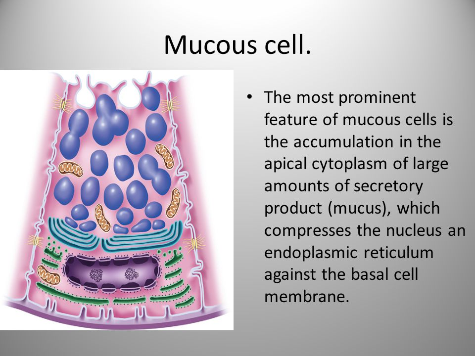 Mucous cell.