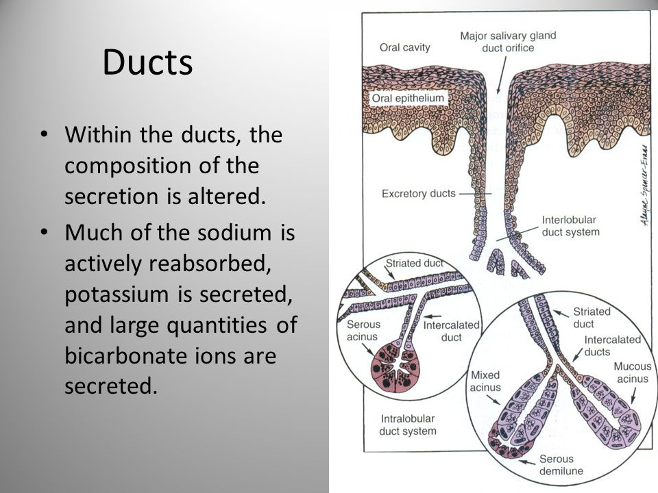 Ducts Within the ducts, the composition of the secretion is altered.