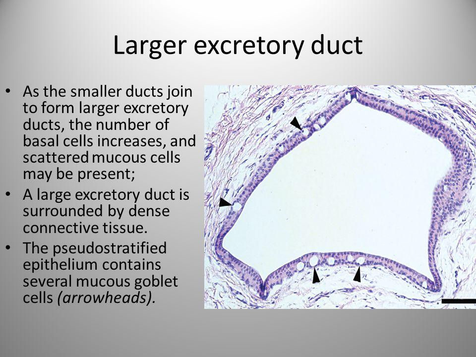 Larger excretory duct