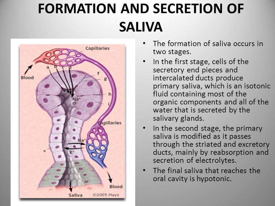 FORMATION AND SECRETION OF SALIVA