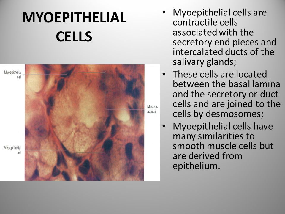 Myoepithelial cells are contractile cells associated with the secretory end pieces and intercalated ducts of the salivary glands;