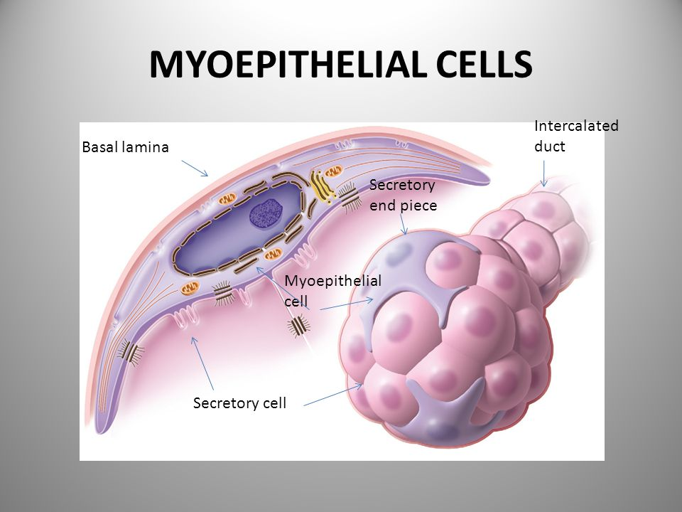 MYOEPITHELIAL CELLS Intercalated duct Basal lamina Secretory end piece