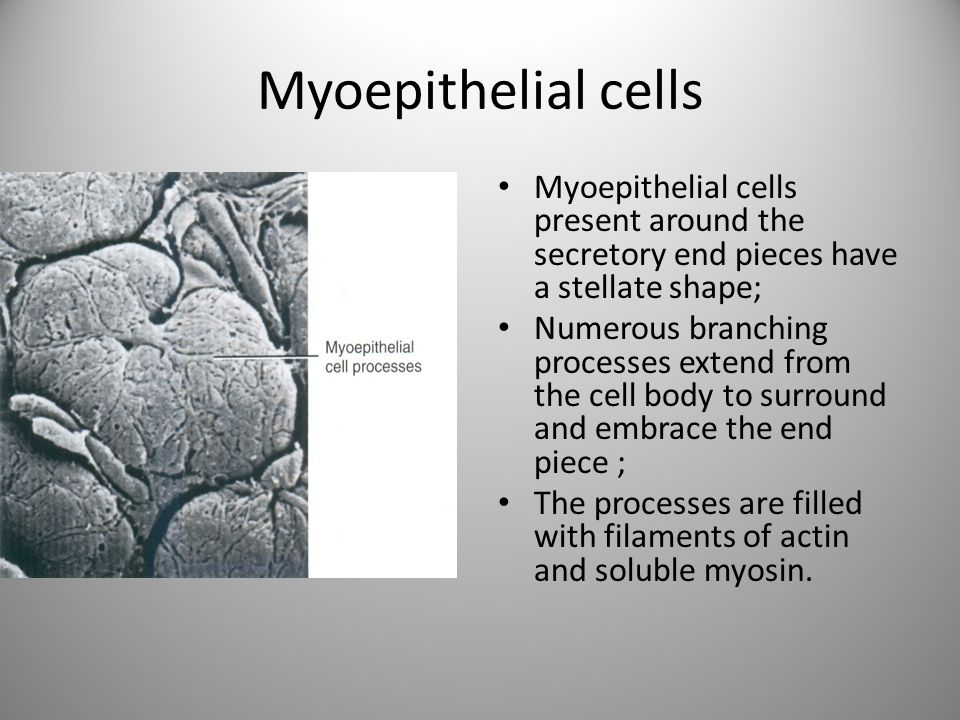 Myoepithelial cells Myoepithelial cells present around the secretory end pieces have a stellate shape;