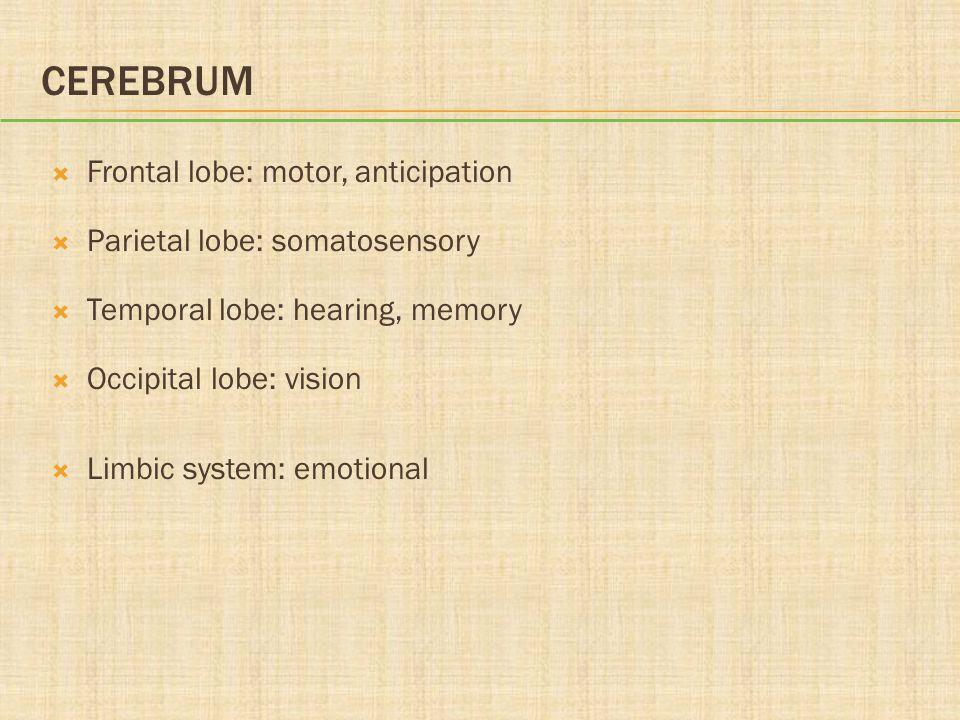 Cerebrum Frontal lobe: motor, anticipation