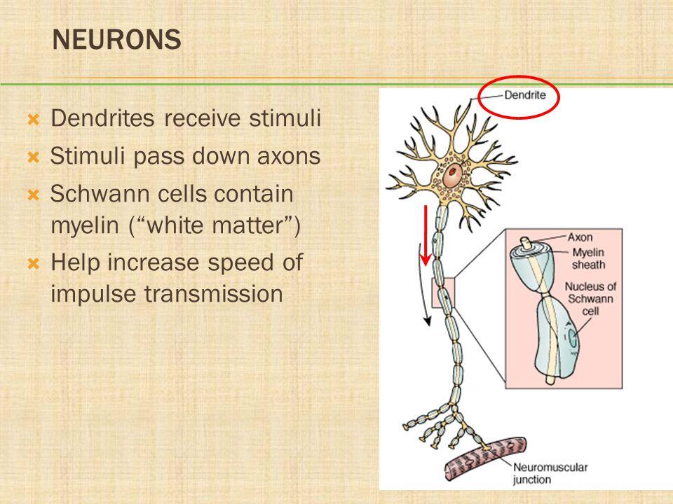 Neurons Dendrites receive stimuli Stimuli pass down axons
