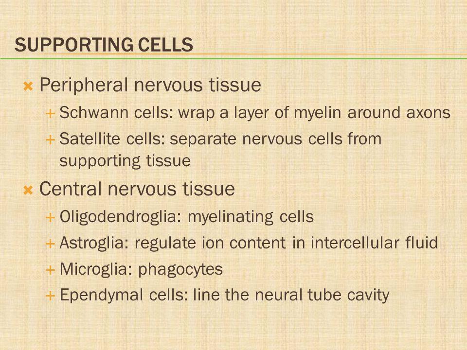 Peripheral nervous tissue