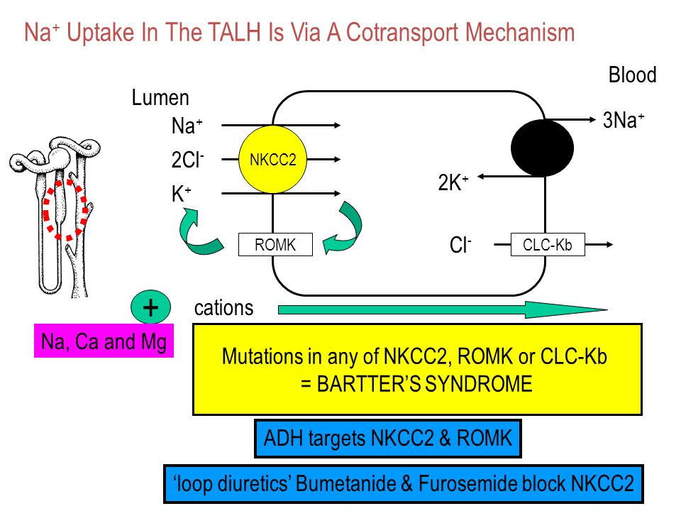 + Na+ Uptake In The TALH Is Via A Cotransport Mechanism Blood Lumen