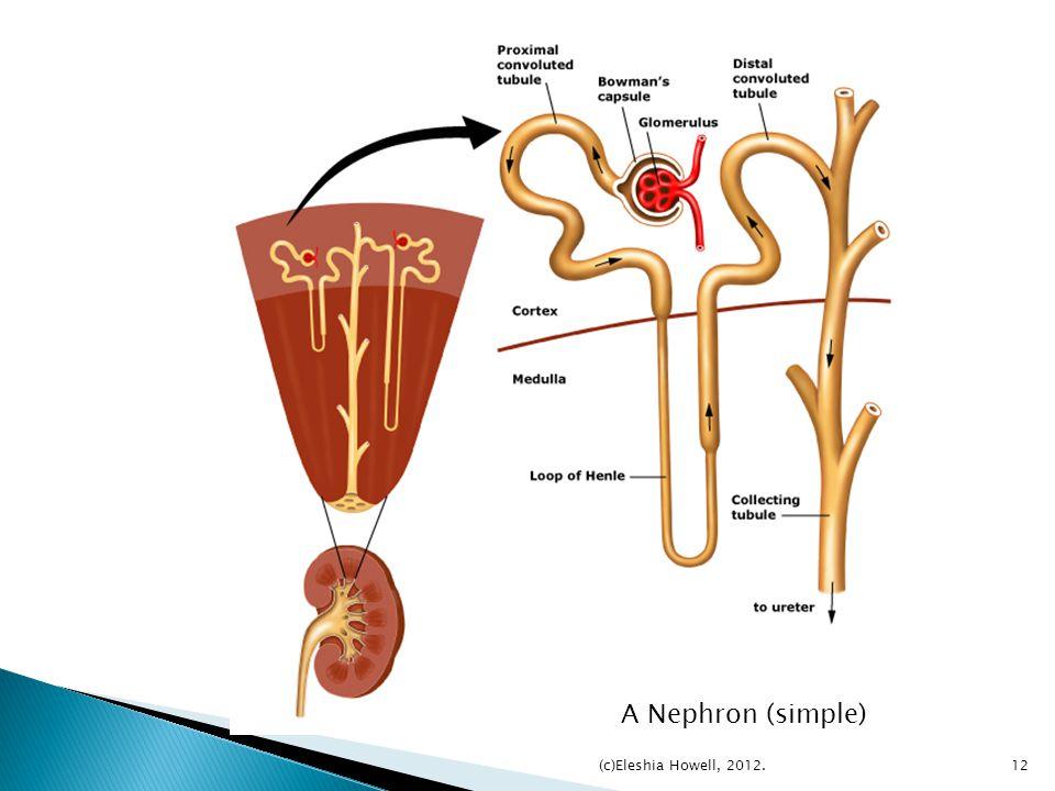 A Nephron (simple) (c)Eleshia Howell, 2012.
