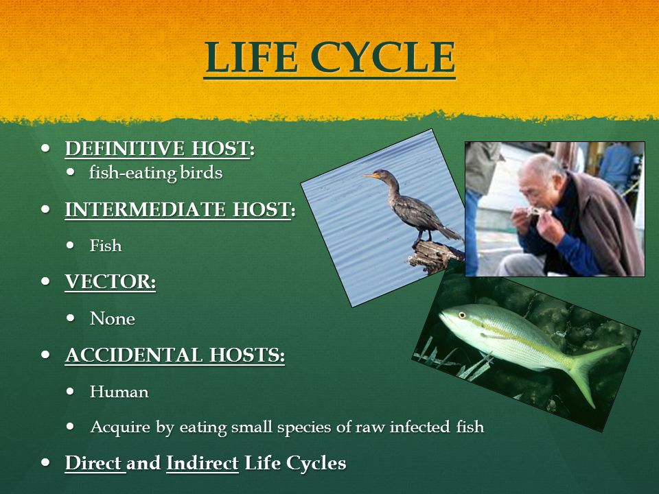 LIFE CYCLE DEFINITIVE HOST: INTERMEDIATE HOST: VECTOR: