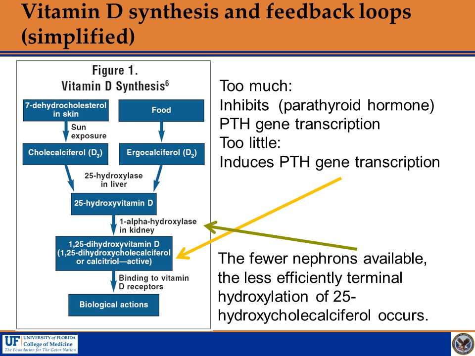 Vitamin D synthesis and feedback loops (simplified)