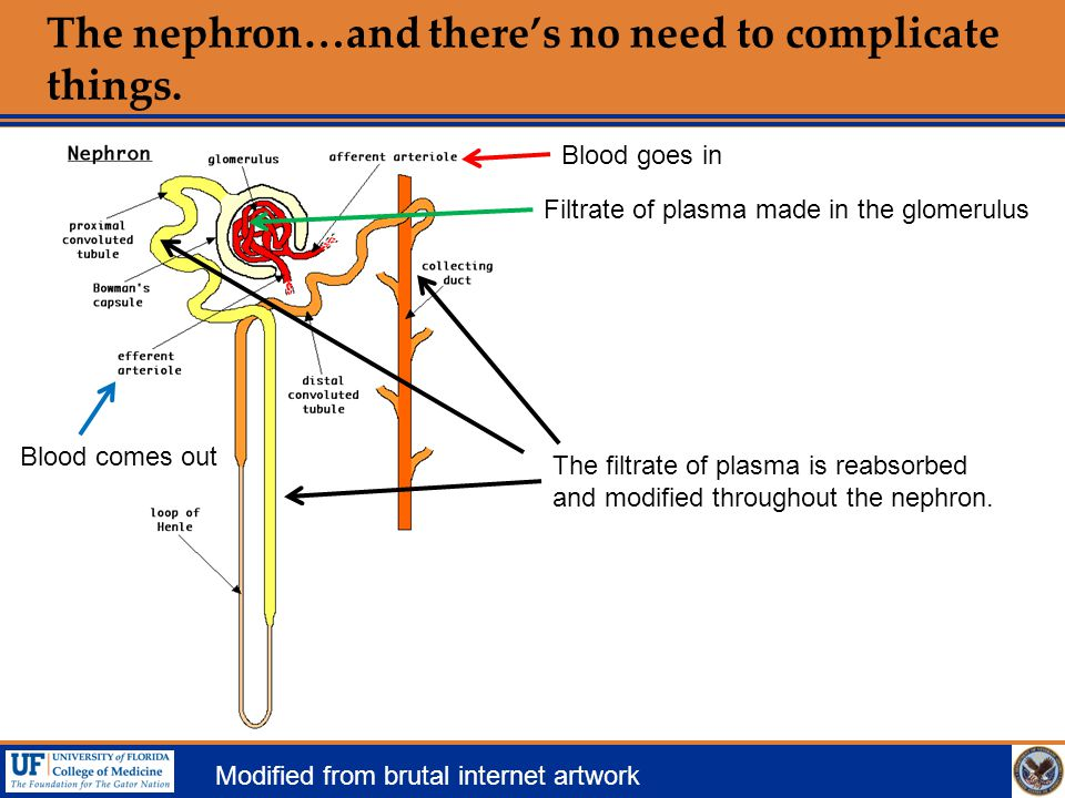The nephron…and there's no need to complicate things.