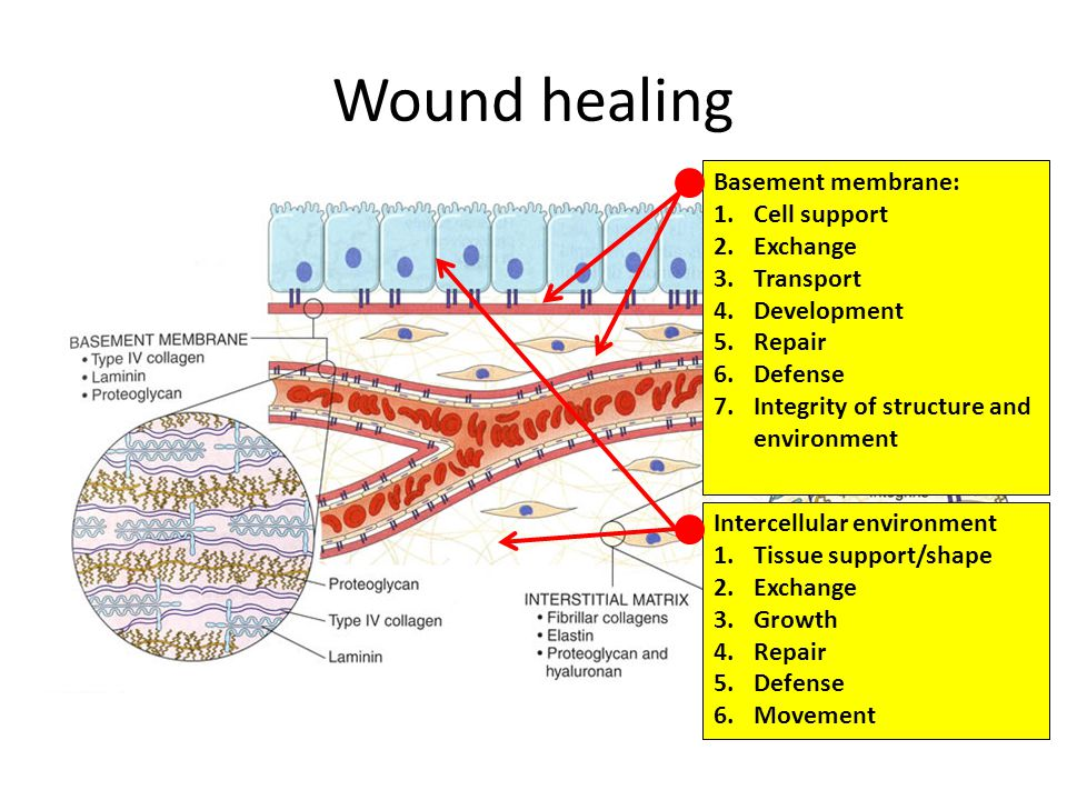 Wound healing Basement membrane: Cell support Exchange Transport