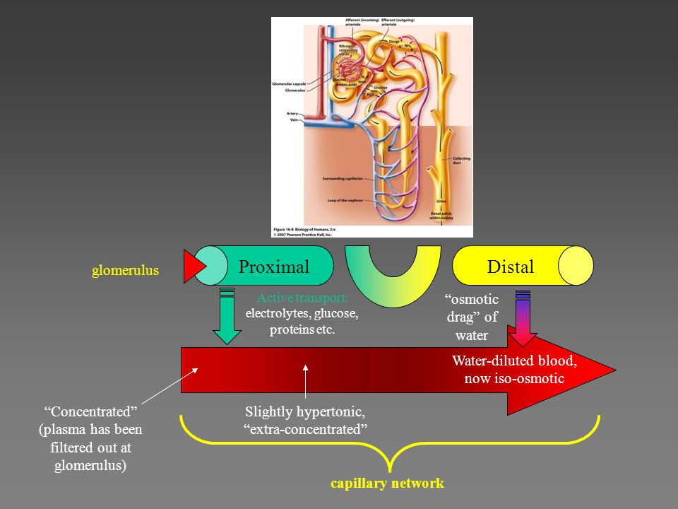 Proximal Distal glomerulus osmotic drag of water