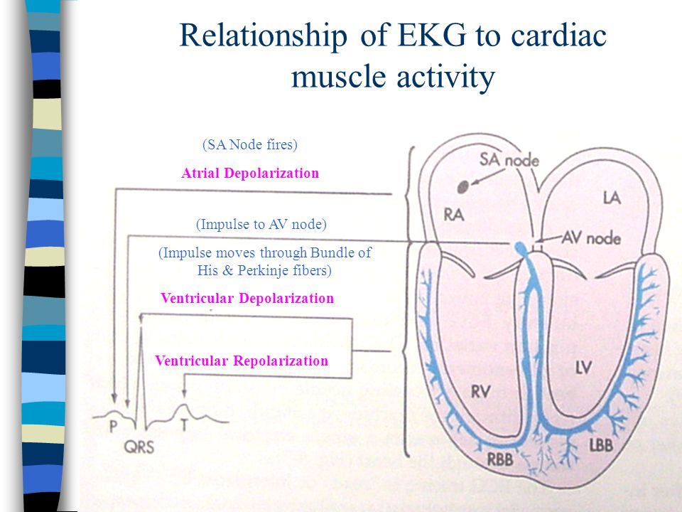 Relationship of EKG to cardiac muscle activity