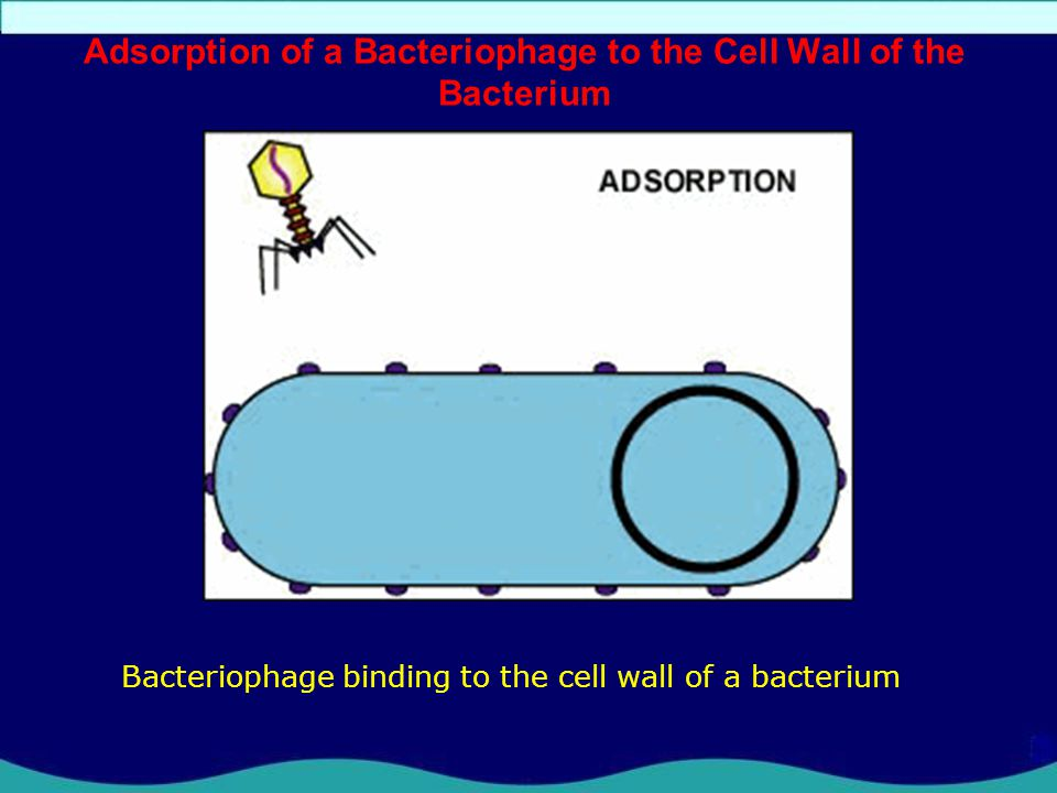 Adsorption of a Bacteriophage to the Cell Wall of the Bacterium