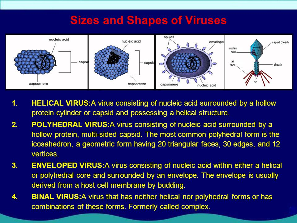 Sizes and Shapes of Viruses