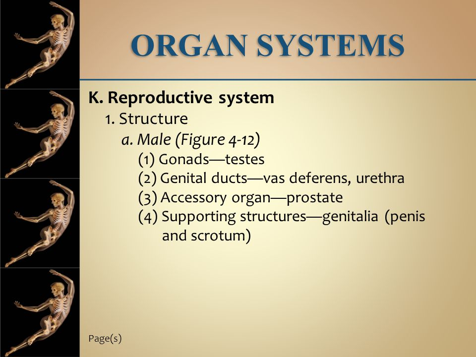ORGAN SYSTEMS K. Reproductive system 1. Structure