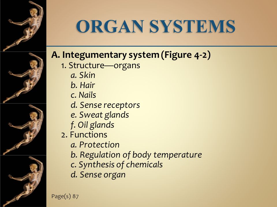 ORGAN SYSTEMS A. Integumentary system (Figure 4-2) 1. Structure—organs