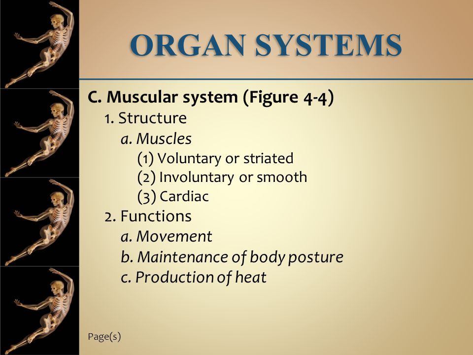 ORGAN SYSTEMS C. Muscular system (Figure 4-4) 1. Structure a. Muscles