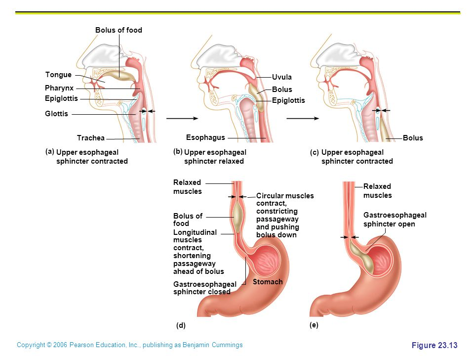 Figure 23.13 Bolus of food Tongue Uvula Pharynx Bolus Epiglottis