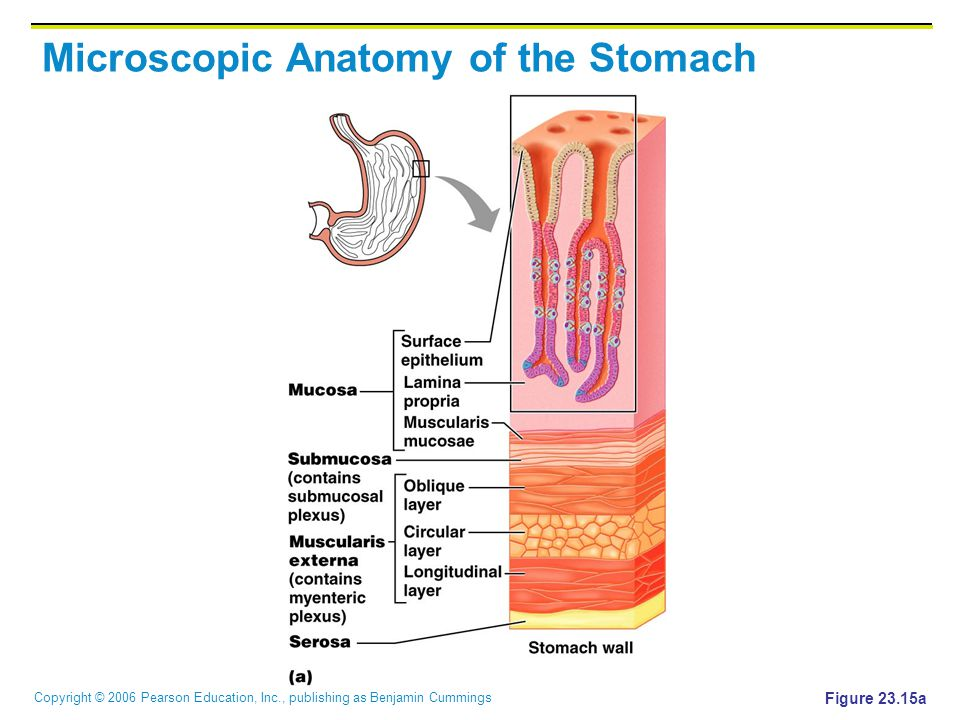 Microscopic Anatomy of the Stomach