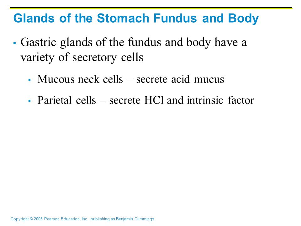 Glands of the Stomach Fundus and Body
