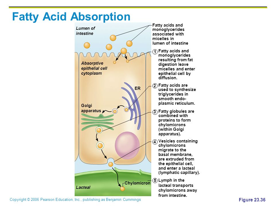 Fatty Acid Absorption Figure 23.36 Fatty acids and monoglycerides