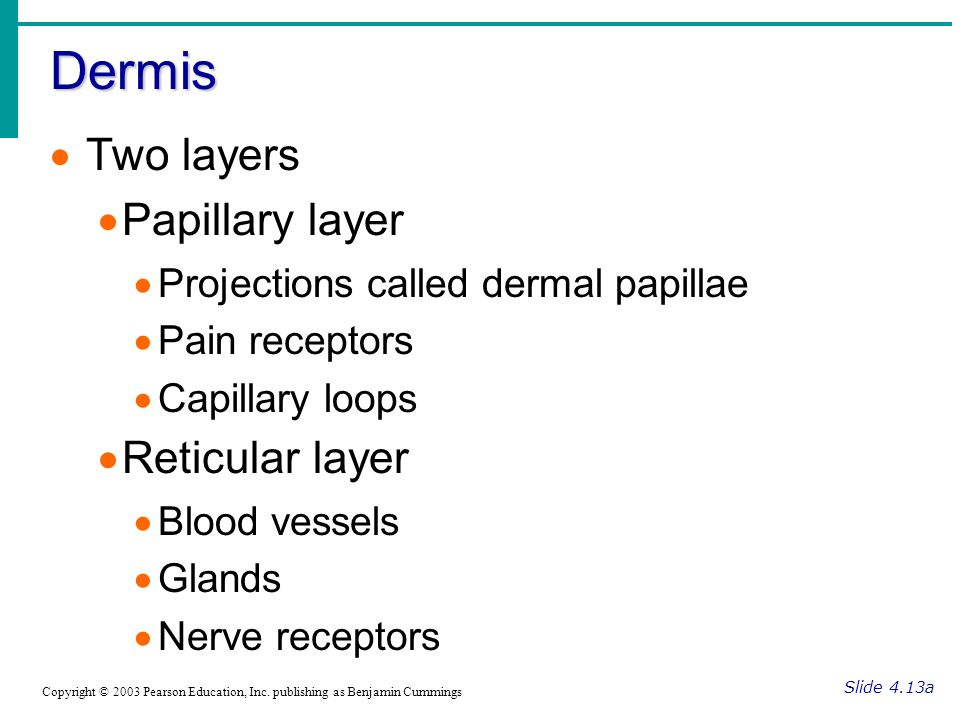 Dermis Two layers Papillary layer Reticular layer