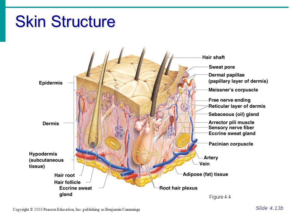 Skin Structure Figure 4.4 Slide 4.13b