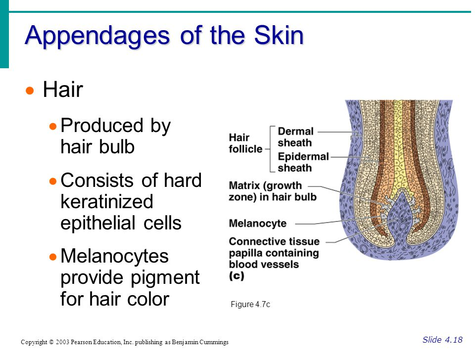 Appendages of the Skin Hair Produced by hair bulb