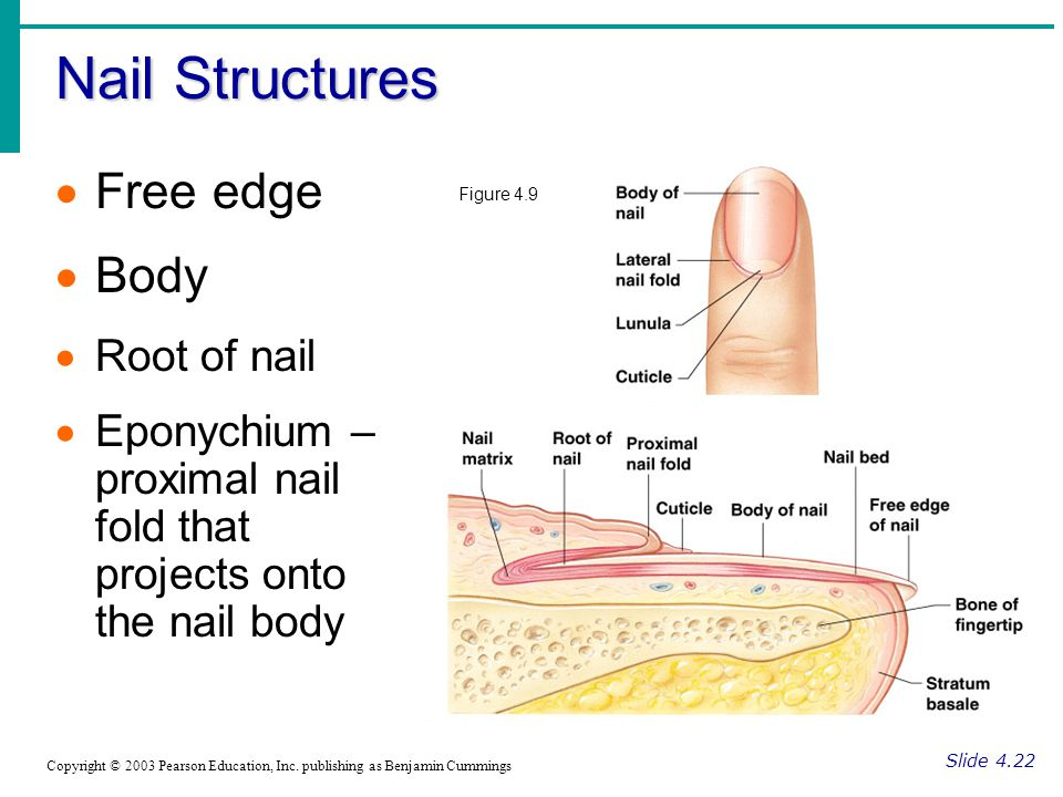 Nail Structures Free edge Body Root of nail