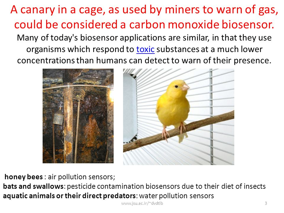 A canary in a cage, as used by miners to warn of gas, could be considered a carbon monoxide biosensor.