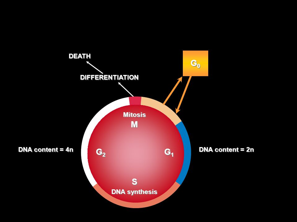The Cell Cycle G0 M S G2 G1 DEATH DIFFERENTIATION Mitosis
