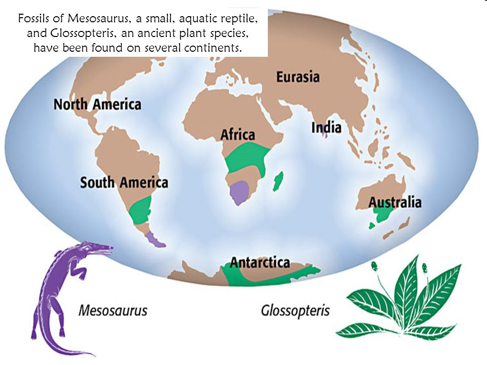 Fossils of Mesosaurus, a small, aquatic reptile, and Glossopteris, an ancient plant species, have been found on several continents.