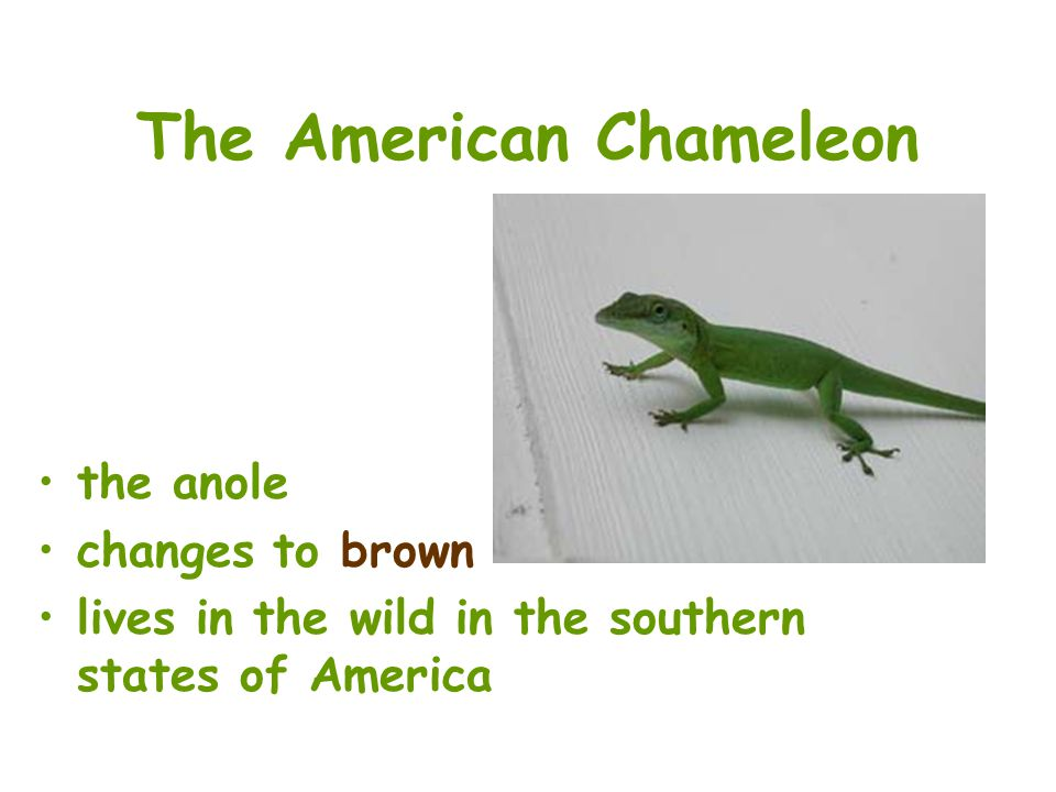 The American Chameleon