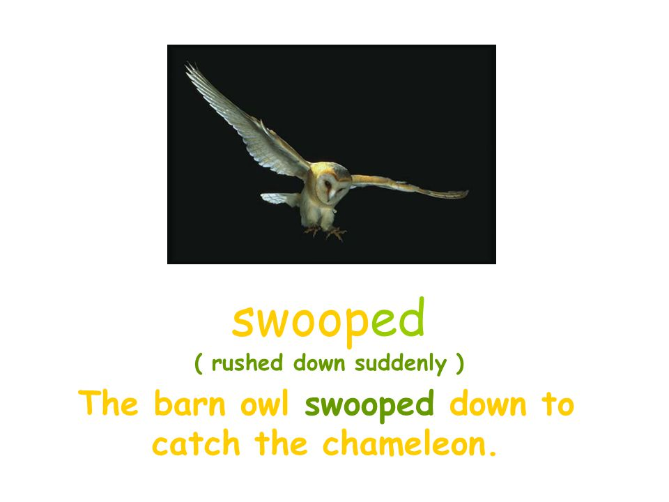 The barn owl swooped down to catch the chameleon.