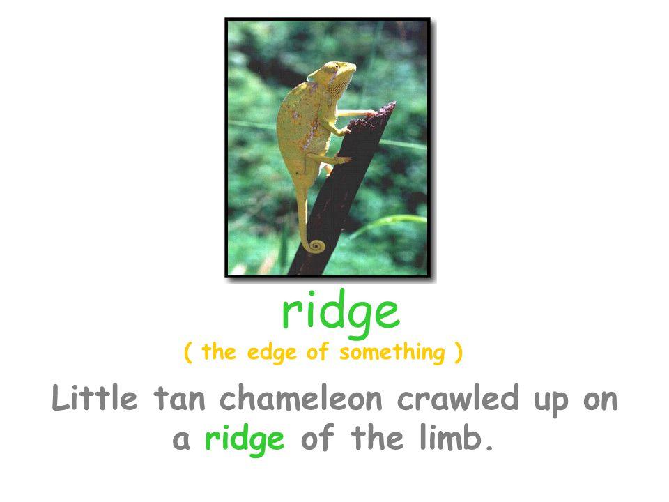 Little tan chameleon crawled up on a ridge of the limb.