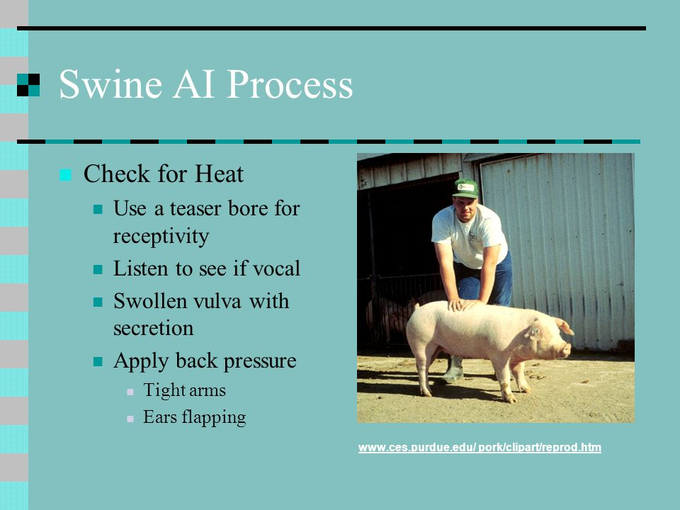 Swine AI Process Check for Heat Use a teaser bore for receptivity