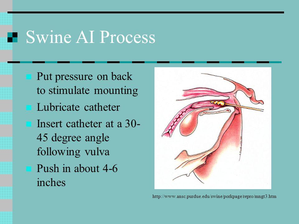 Swine AI Process Put pressure on back to stimulate mounting