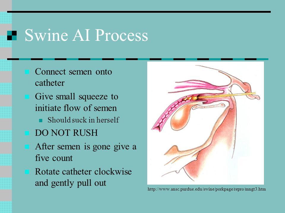 Swine AI Process Connect semen onto catheter