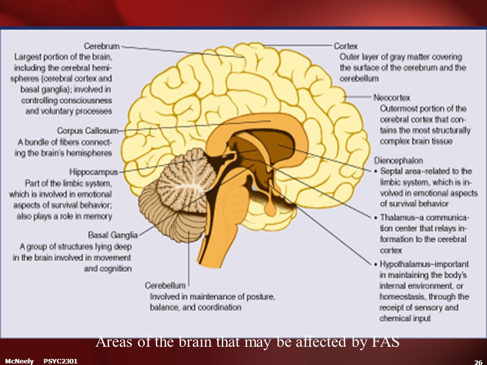 Areas of the brain that may be affected by FAS