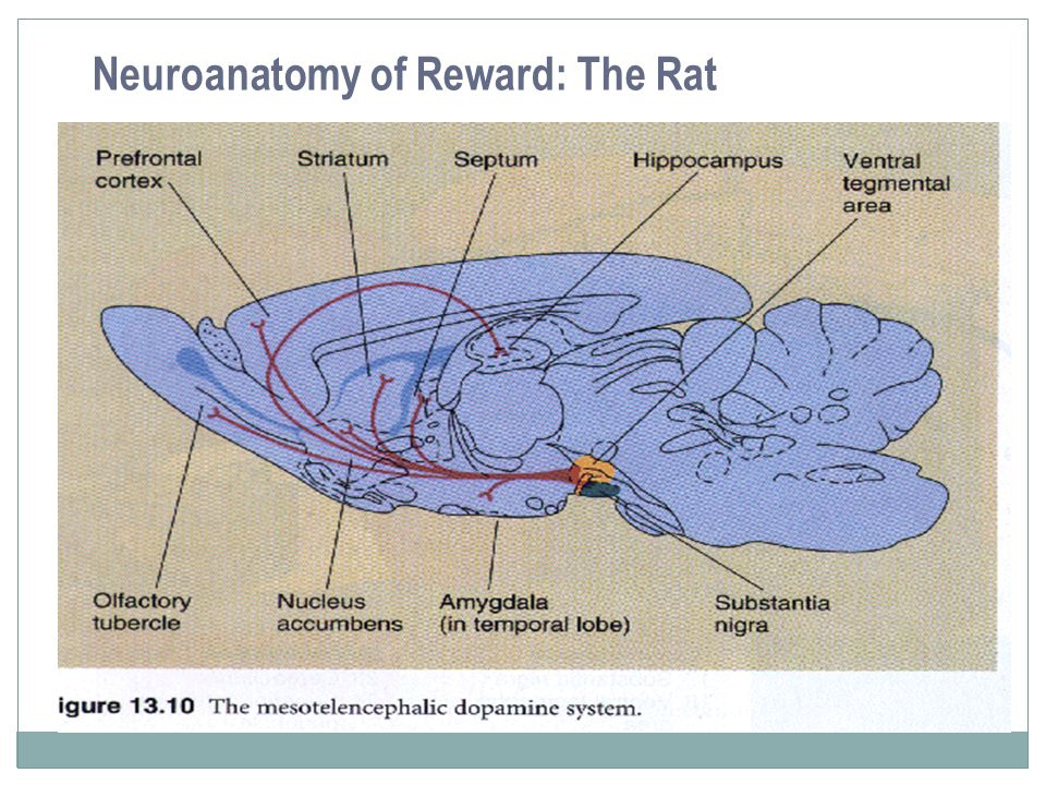 Neuroanatomy of Reward: The Rat