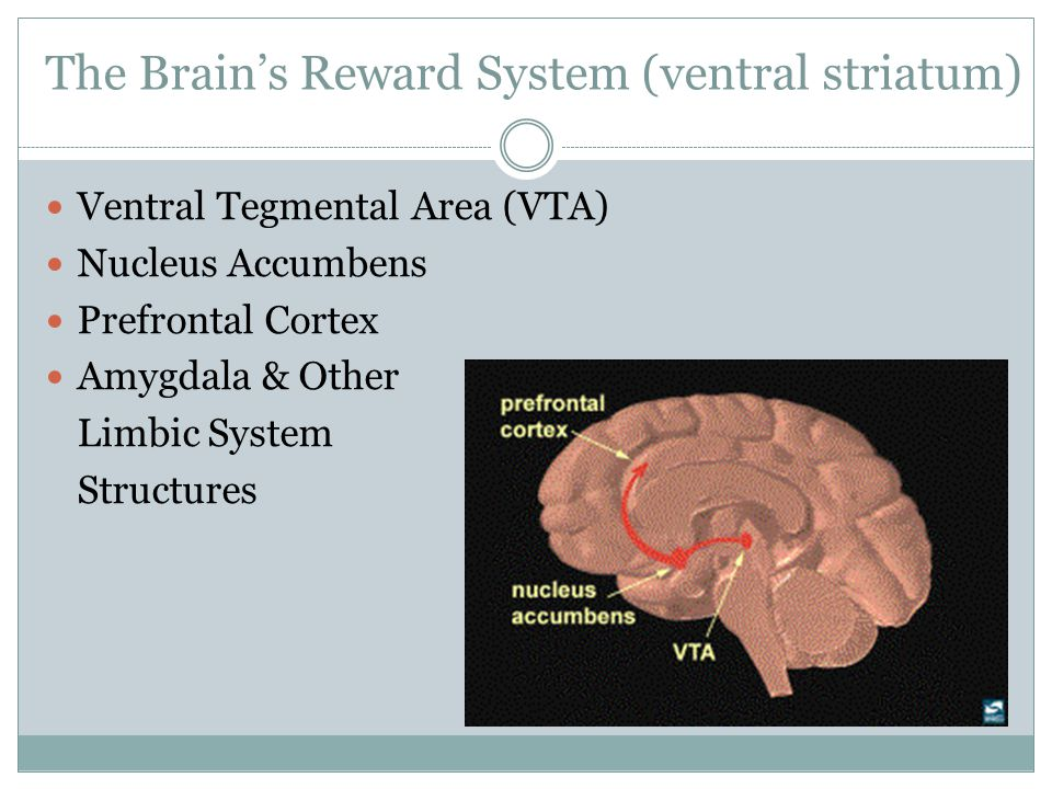 The Brain's Reward System (ventral striatum)