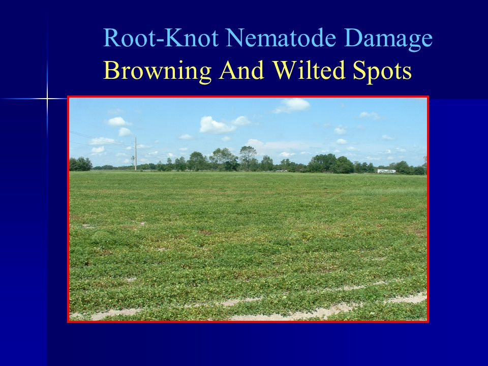 Root-Knot Nematode Damage Browning And Wilted Spots