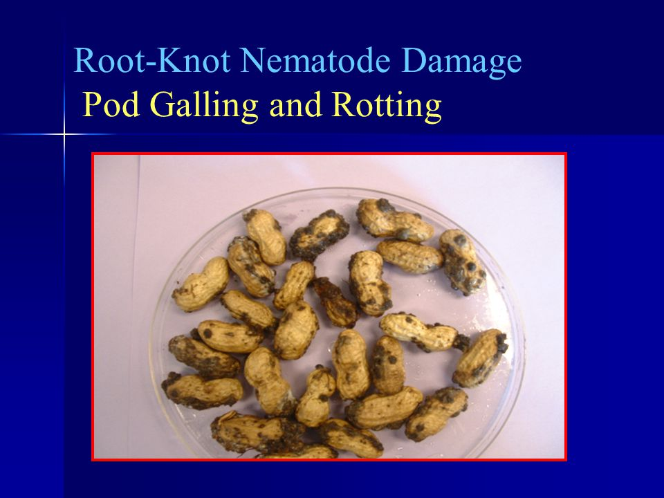 Root-Knot Nematode Damage Pod Galling and Rotting